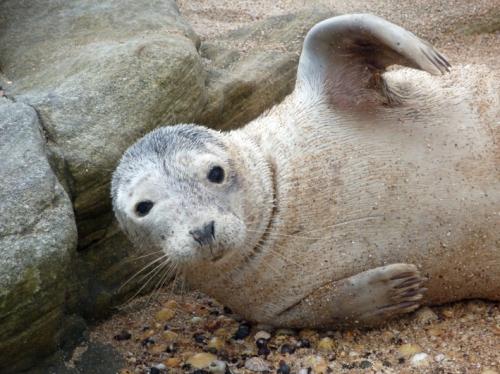 Seal-Pup1